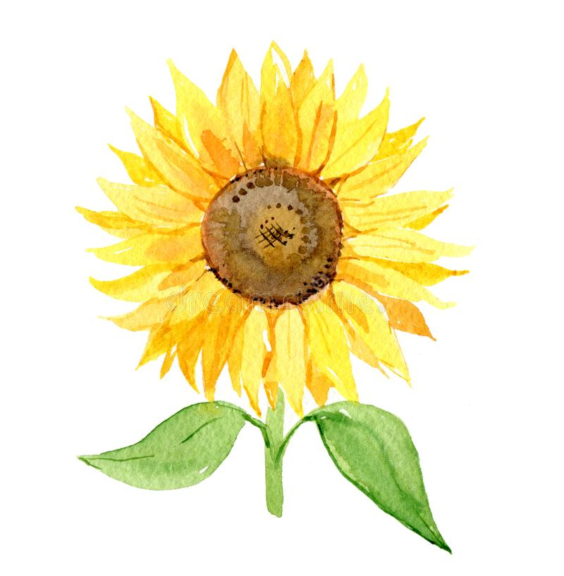 Sunflower isolated on white background, watercolor stock illustration
