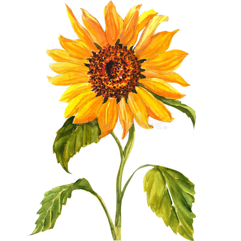 Sunflower isolated on white background. Sunflower isolated, watercolor painting on white background vector illustration