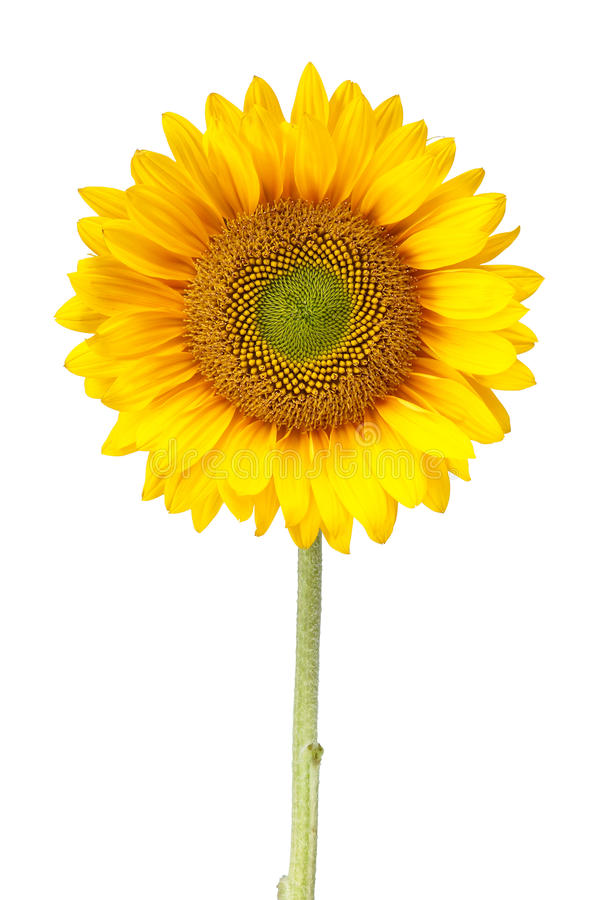 Sunflower isolated on white with clipping path