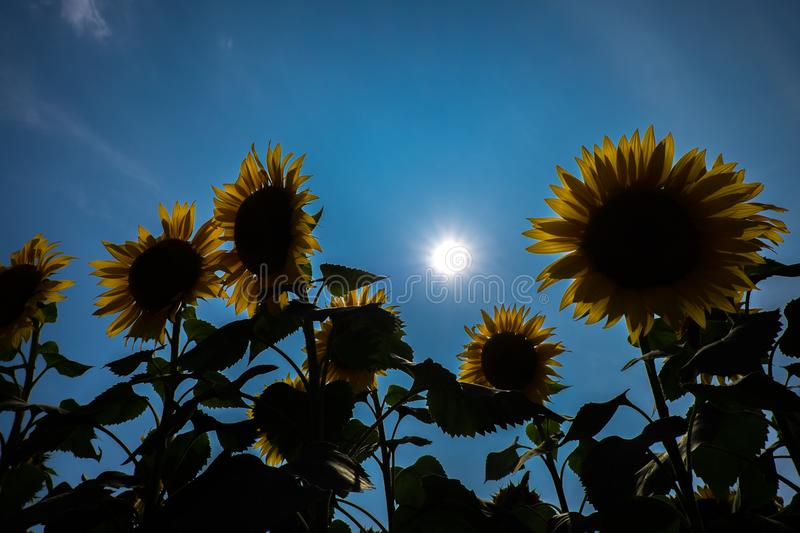 Sunflower Japan. Japan Sun flower famous spot stock photos