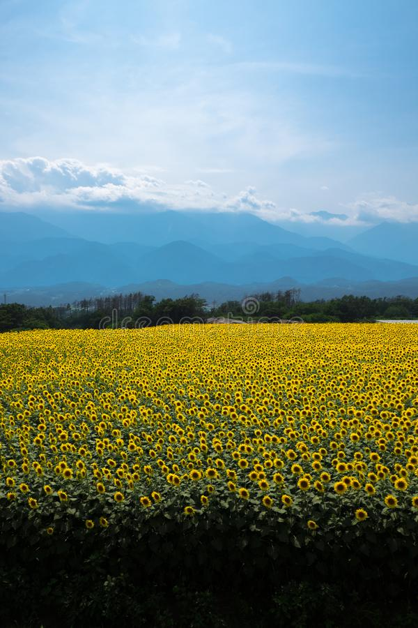 Sunflower in Japan. Most Famous Sunflower Spot in Japan royalty free stock photo