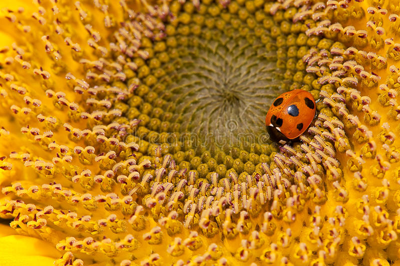 Sunflower and ladybirds. For background royalty free stock images