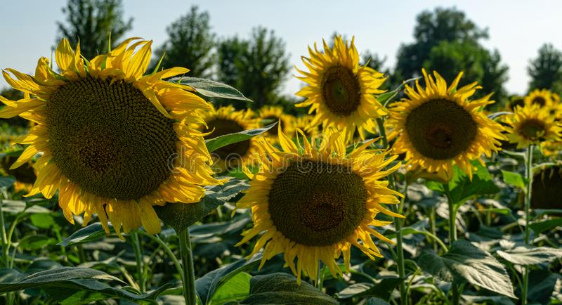 Sunflower landscape with ripened golden sunflower heads in sunset sunshine. Close-up of sunflower heads. Summer flower landscape, fresh wallpaper and nature royalty free stock images