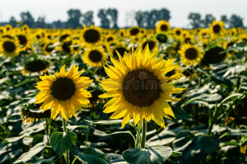 Sunflower landscape with ripened golden sunflower heads in sunset sunshine. Close-up of sunflower heads. Summer flower landscape, fresh wallpaper and nature stock images