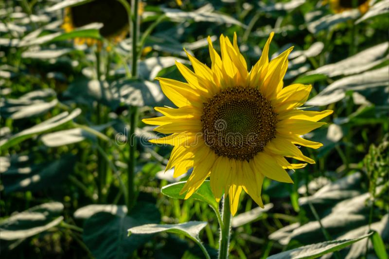 Sunflower landscape with ripened golden sunflower heads in sunset sunshine. Close-up of sunflower heads. Summer flower landscape, fresh wallpaper and nature royalty free stock image