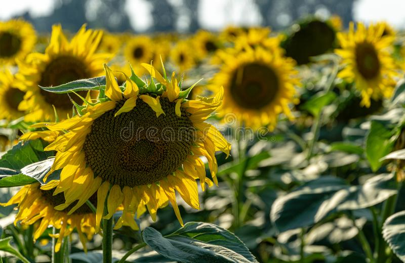 Sunflower landscape with ripened golden sunflower heads in sunset sunshine. Close-up of sunflower heads. Summer flower landscape, fresh wallpaper and nature royalty free stock photos