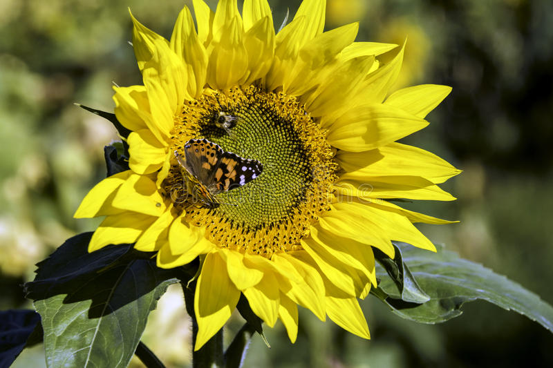 Sunflower. Large sunflower on sunny day with butterfly and bee collecting pollen stock photo