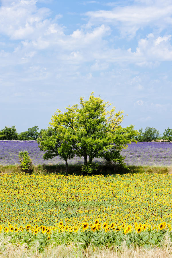 Download Sunflower And Lavender Fields Stock Photography - Image: 23012132