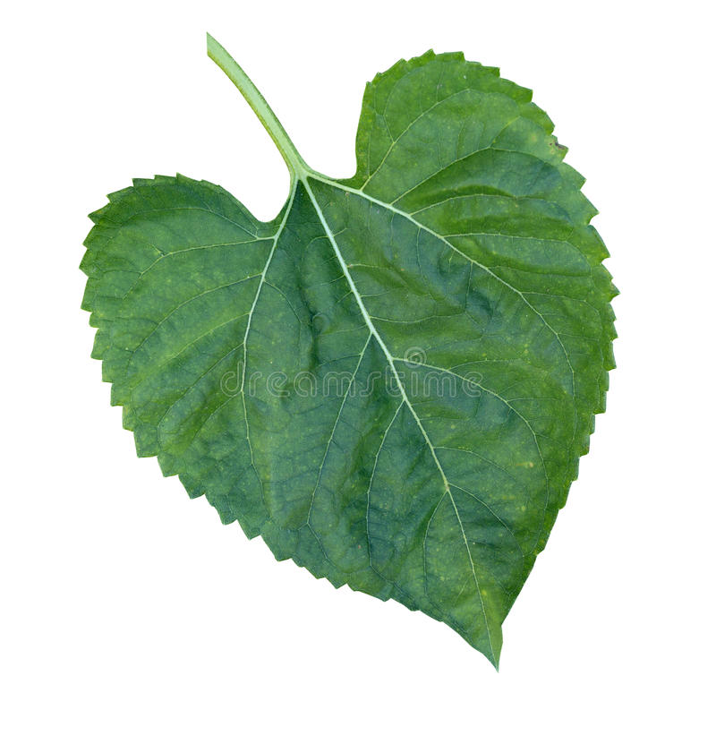 Sunflower leaf in White Background. stock photography