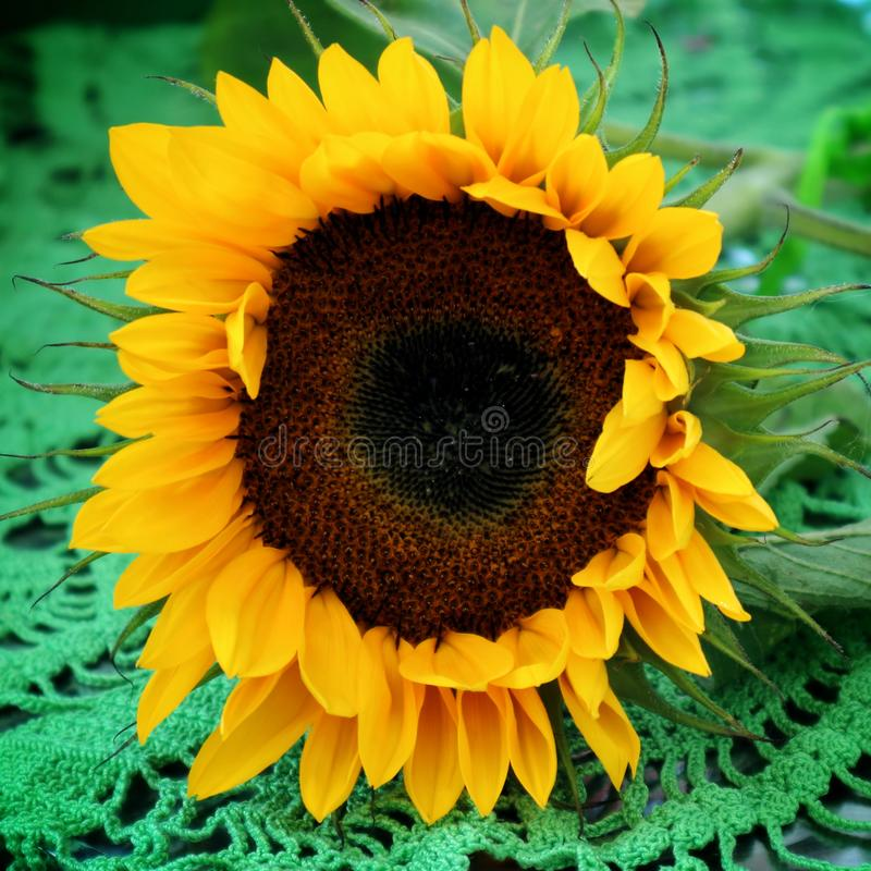 The sunflower lies on a green tablecloth. Sunflower on a green background, petals, yellow stock images