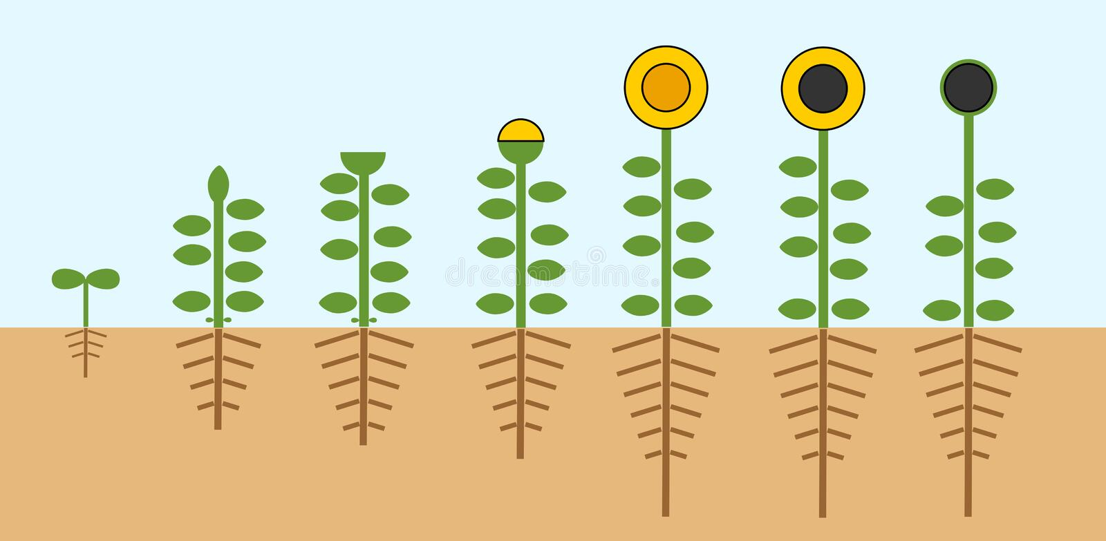 Sunflower life cycle. Growth stages from seed to flowering and fruit-bearing plant with root system royalty free illustration