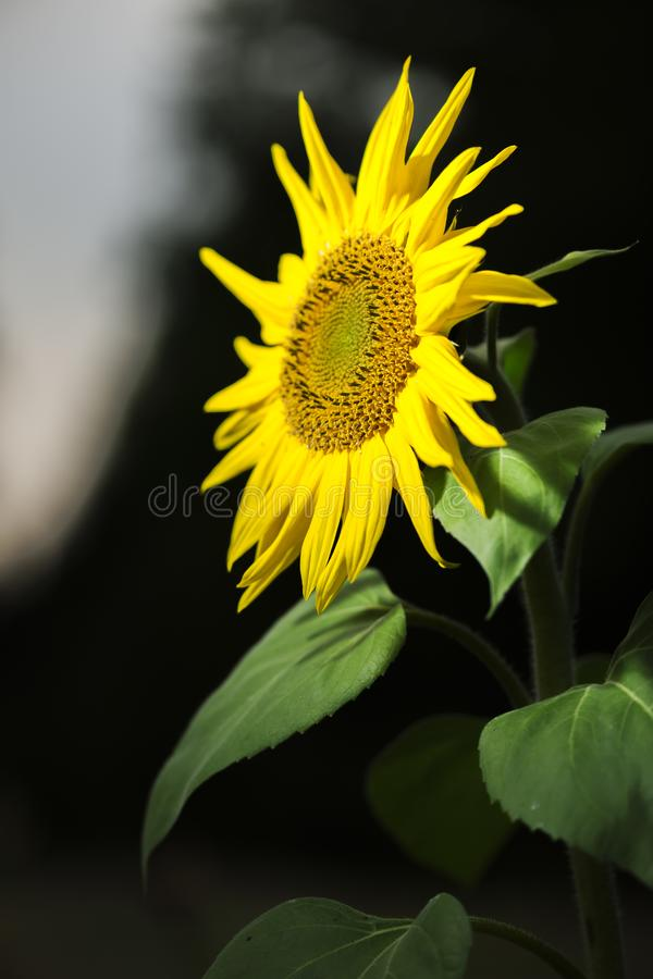 Sunflower look into the spot light. Closeup of a sunflower lat: Helianthus annuus in narrow spotlight on a field in northern Germany looking into the light royalty free stock image