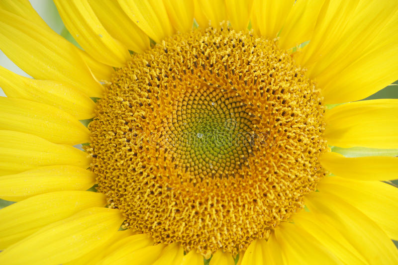 A sunflower looked at pretty closely stock photo