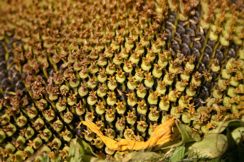 Download Sunflower Macro stock photo. Image of whole, hull, detail - 10237994