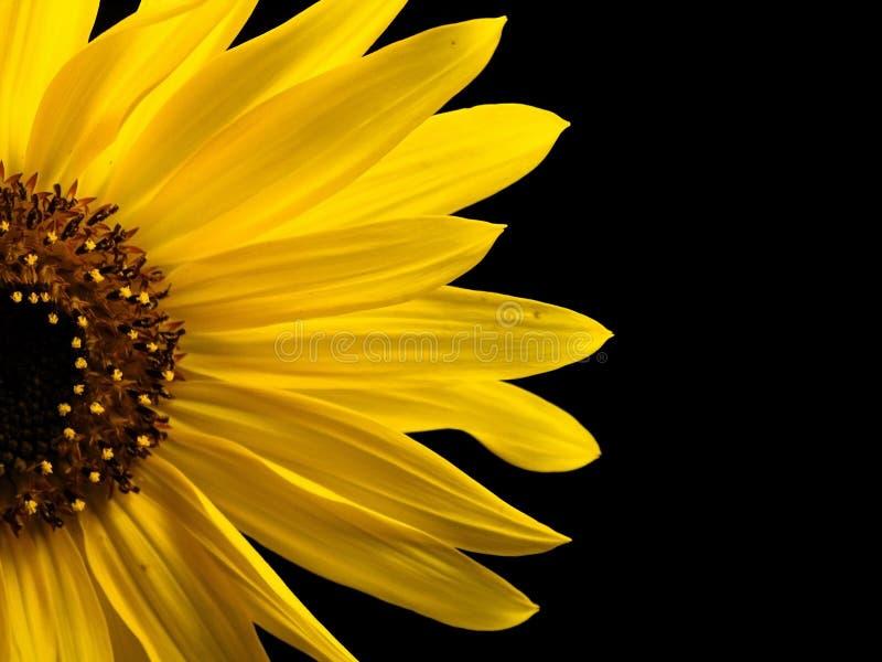 Sunflower Macro stock images