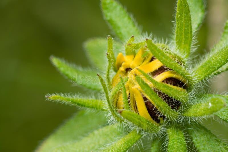 Sunflower Macro royalty free stock image
