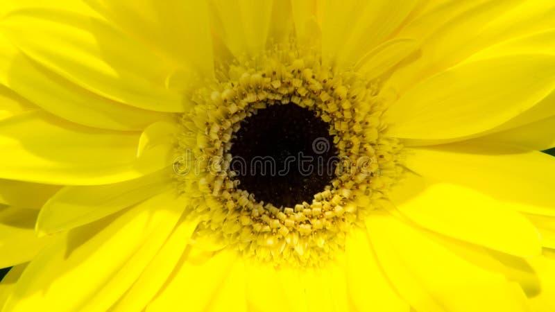Sunflower macro stock photos