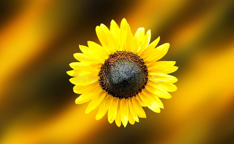 Sunflower in the middle of the frame royalty free stock photo