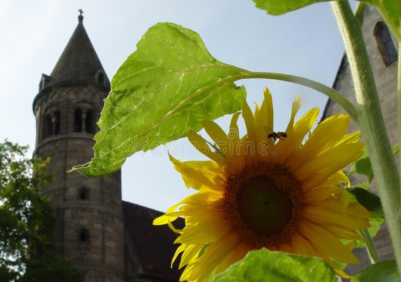 sunflower in monastery stock photos