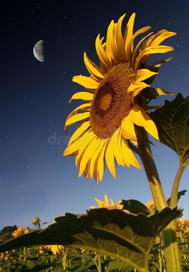 Sunflower in moonlight royalty free stock image