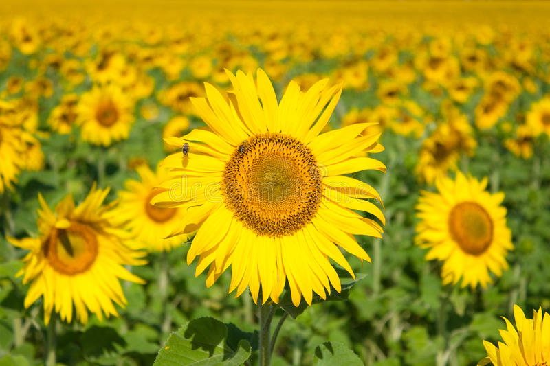 Download Sunflower In The Morning On The Sun Stock Image - Image: 10423611