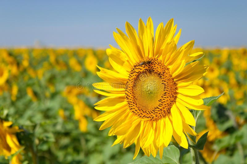 Download Sunflower In The Morning On The Sun Stock Photo - Image: 10423676