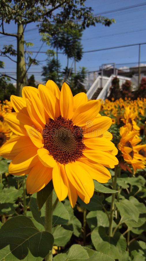 Yellow sunflower with motion blur. Sunflower with motion blur with the best quality and resolution stock image