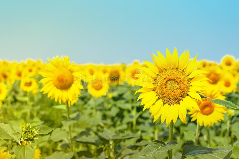 Sunflower natural background. Beautiful landscape with yellow sunflowers against the blue sky. Sunflower field, agriculture, royalty free stock photography