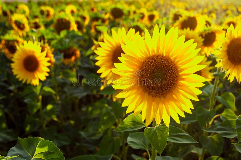 Sunflower natural background. Sunflower blooming. Agriculture field stock photos