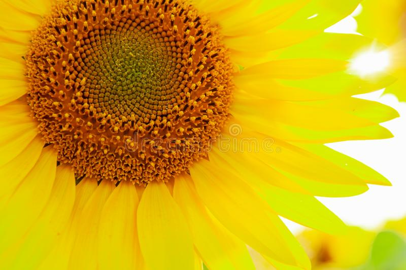 Sunflower natural background. Sunflower blooming. Agriculture field royalty free stock images