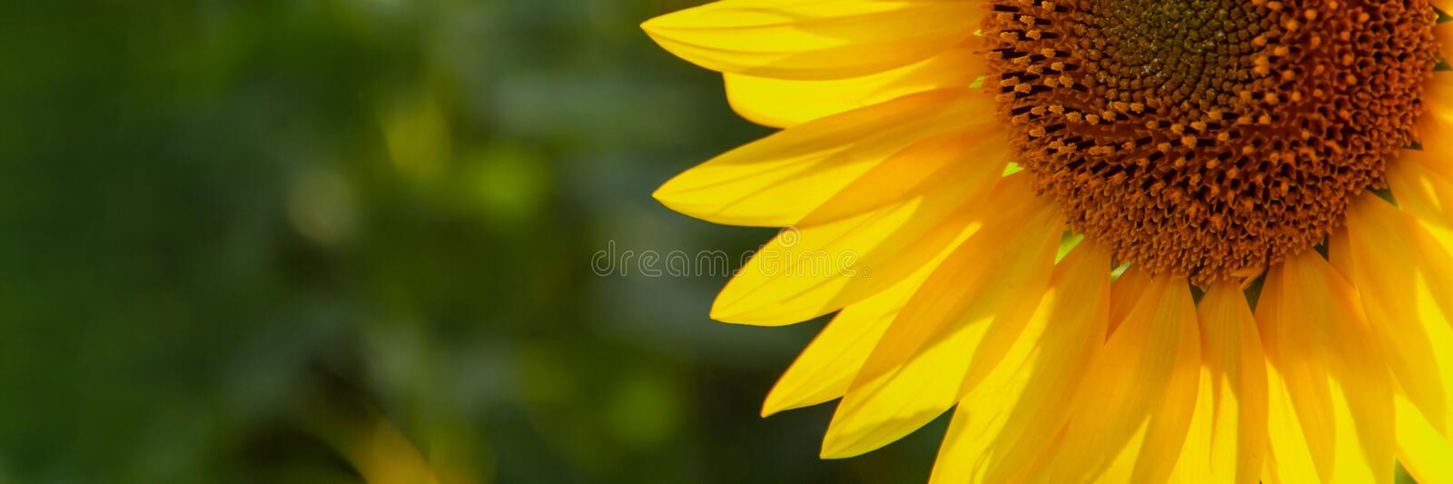 Sunflower natural background. Sunflower blooming. Agriculture field royalty free stock photography