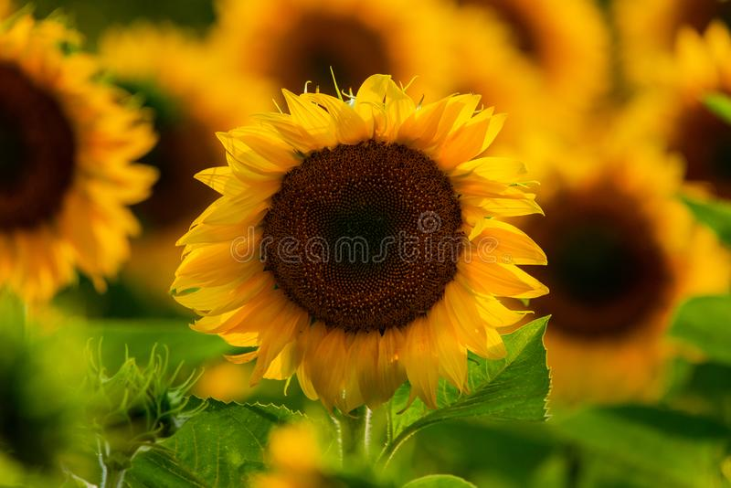 Sunflower natural background. Sunflower blooming. Close-up of sunflower stock photos