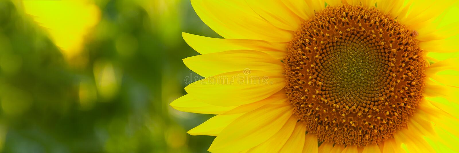 Sunflower natural background. Sunflower blooming. Close-up of sunflower stock images