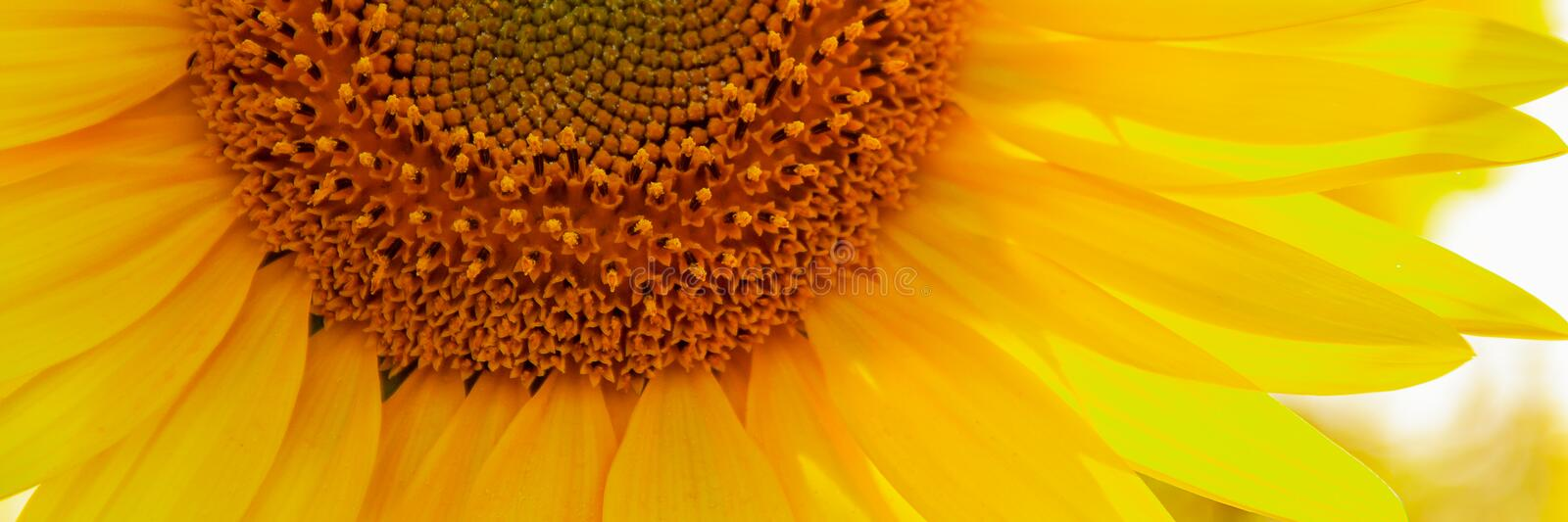 Sunflower natural background, Sunflower blooming, close up stock photos