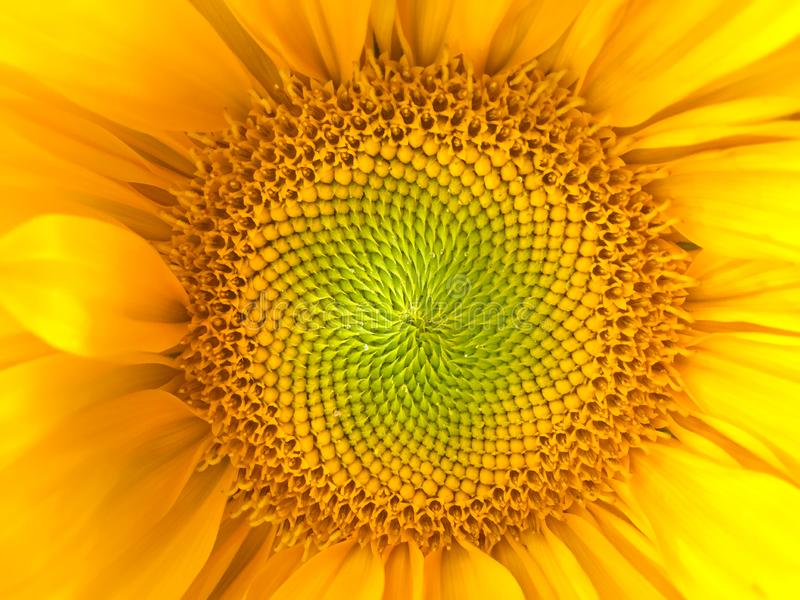 Sunflower natural background. Sunflower blooming. Close-up. Sunflowers symbolize adoration, loyalty and longevity. stock photo