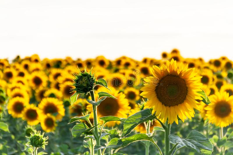 Sunflower natural background, Sunflower blooming, Sunflower oil royalty free stock image