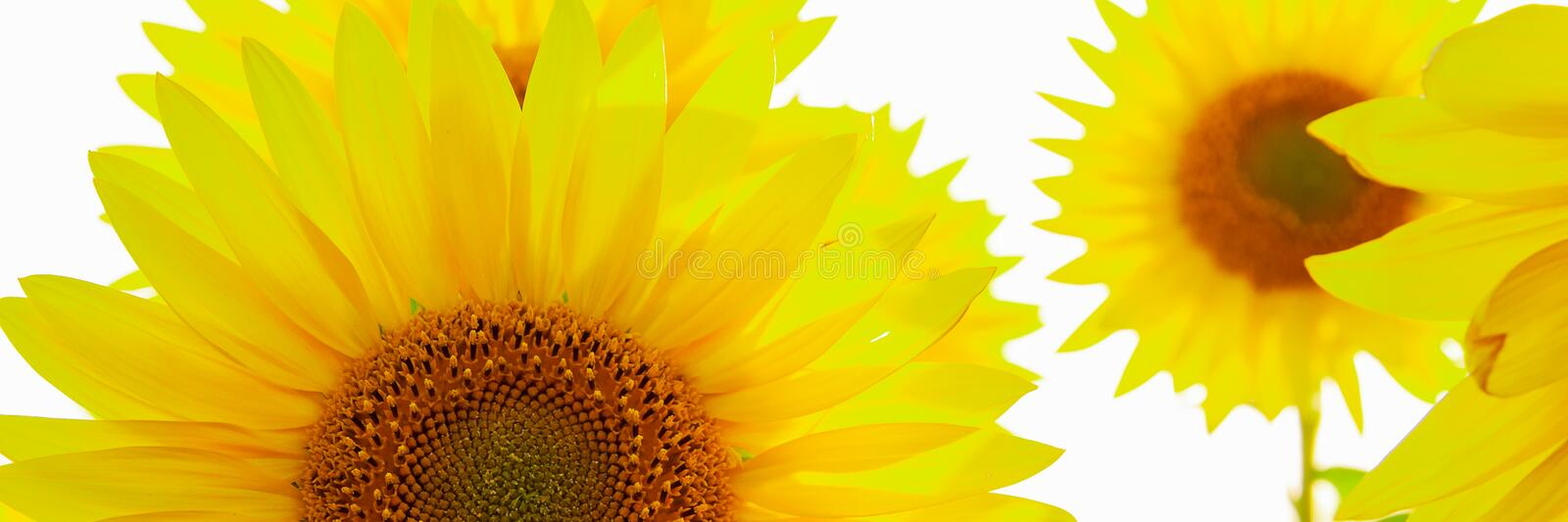 Sunflower natural background. Sunflower blooming. Agriculture field royalty free stock photos