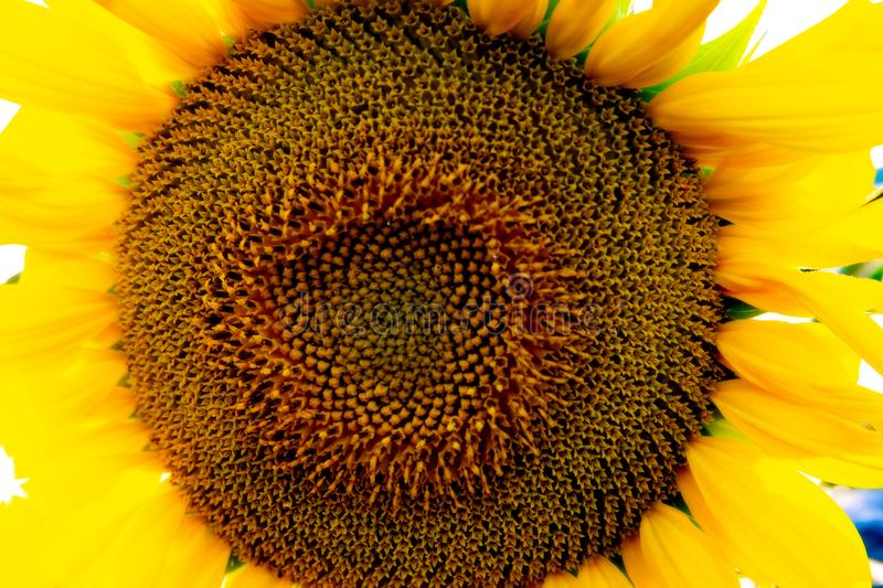Sunflower natural background, Sunflower blooming, Sunflower oil improves skin health and promote cell regeneration. Flowers, suns, macros, agricultures stock photography