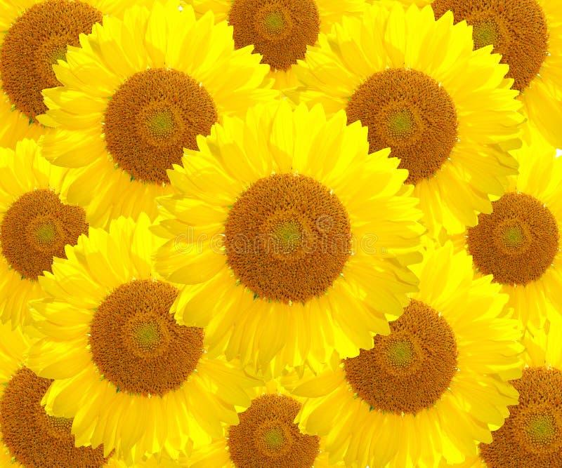 The sunflower nature