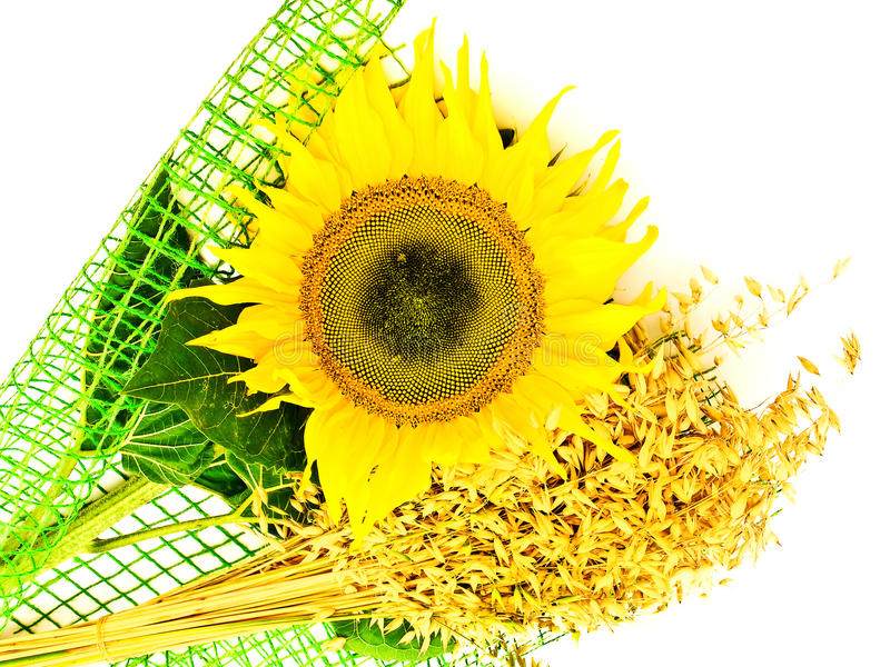 Download Sunflower and oats stock photo. Image of abstract, natural - 11877620