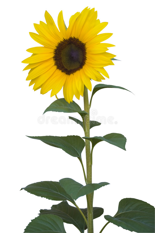 Free Sunflower On White Stock Images - 3983404