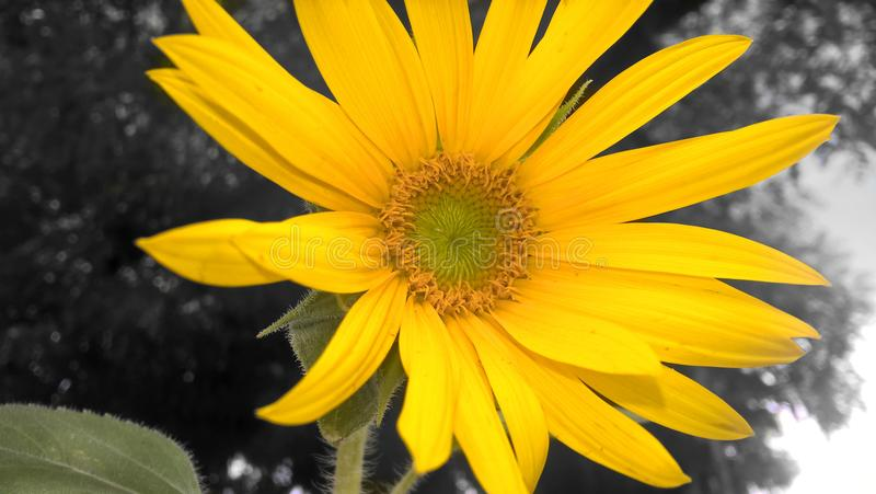 Sunflower opening her petals stock image