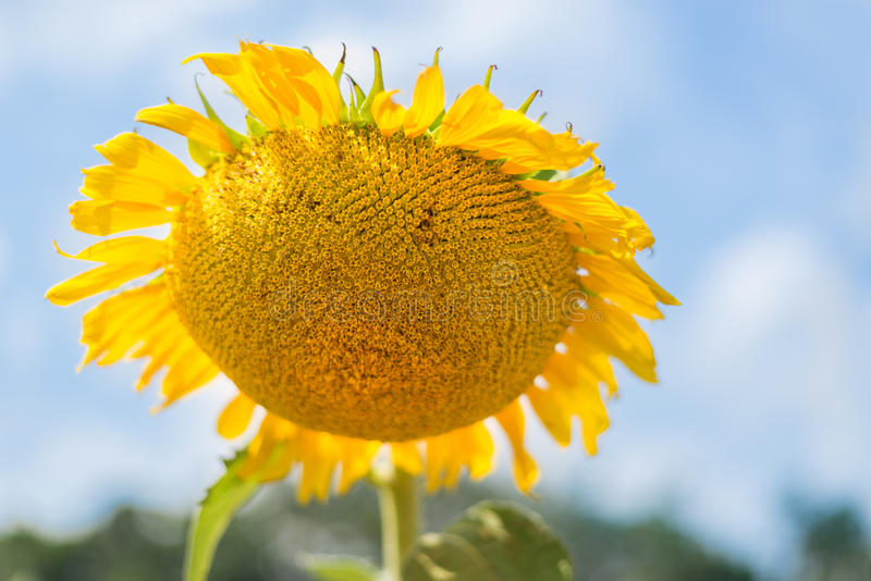 Sunflower over cloudy blue sky royalty free stock photo