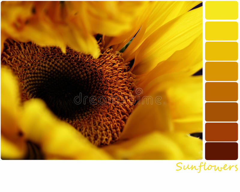 Sunflower Palette. Macro of a sunflower with a color palette of complimentary color swatches. Selective focus on center of flower with extreme shallow depth of stock images