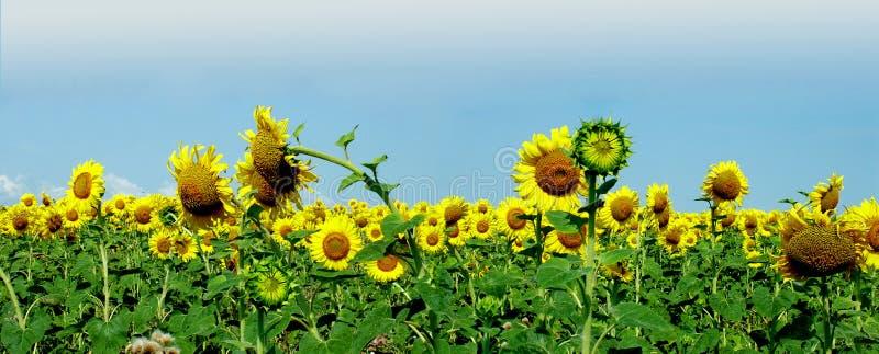 Sunflower panorama stock images