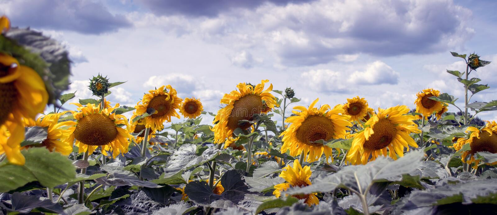 Sunflower panorama in a beautiful field stock photography