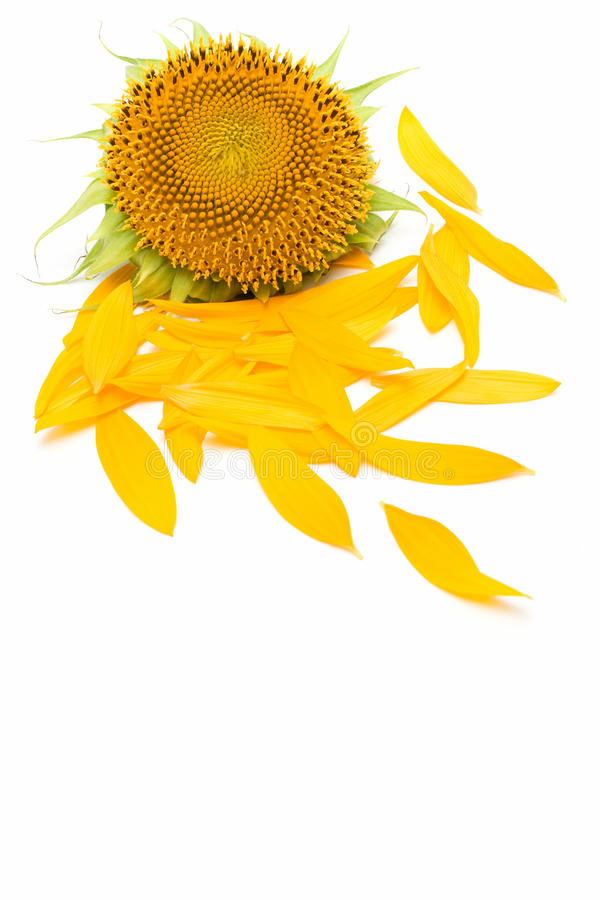 Sunflower petals isolated over white background. Sunflower and petals isolated over white background royalty free stock image
