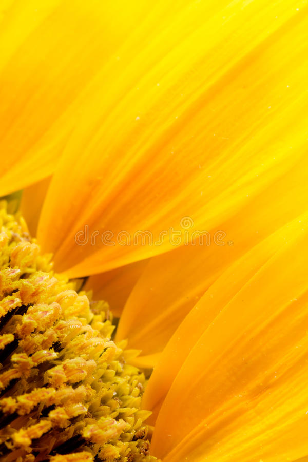 Sunflower petals. Extreme macro shot. Abstract background with sunflower petals royalty free stock photos
