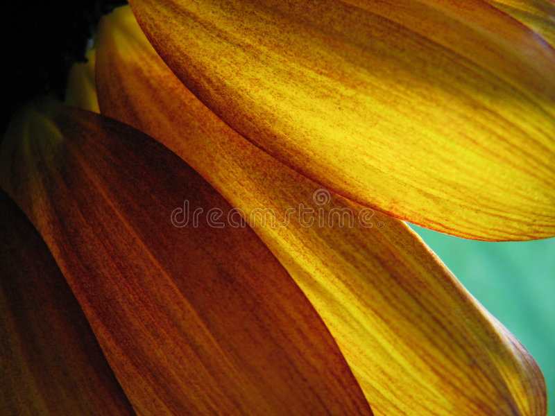Sunflower Petals. Closeup of sunflower petals with backlighting from the afternoon sun stock image