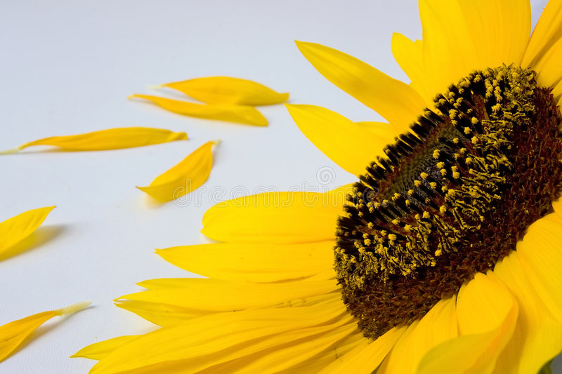 Sunflower and petals. A sunflower head and petals on white royalty free stock image